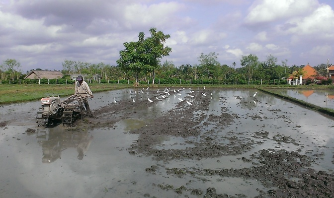 Conventional rice farming with a machine. Look at how those birds are eating up all the organisms and worms in the soil. It's not going to be a living soil after that.