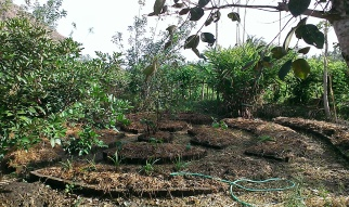 A mandala garden that I helped to mulch thickly with rice stalks before transplanting some eggplants. It's dry season in Bali and mulching really helps to retain moisture under the baking sun.