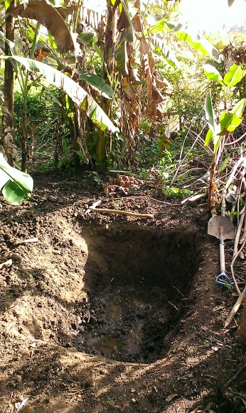 We dug a hole beside the pond to bury the water hyacinth that has completely covered the two ponds. Water hyacinths are one of the fastest growing plants in the world, doubling their population every two weeks! Great for composting and mulching with their high nitrogen content. The greedy bananas will suck up all that nutrients readily. Good chance to look at the fertile volcanic soil in Bali. Yummy...