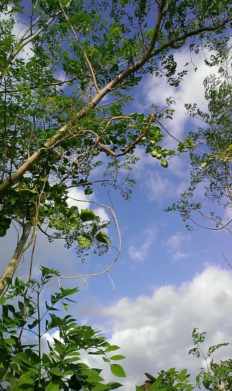 Can you spot the passionfruits in the tree? There's no such thing as a passionfruit tree since they are creepers. The passionfruit has partnered with the moringa tree, which works quite well with sparse foliage trees like the moringa.