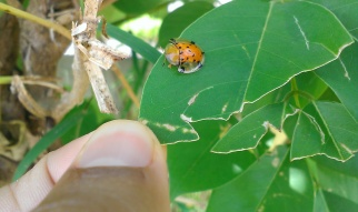 Really weird beetle mimicking as a ladybird. What's the purpose? Maybe it is trying to fool a real ladybird to mate with it and then eat the ladybird. Ant-mimicry is quite common. Insects and spiders mimic ants as certain predators stay away from aggressive ants. Either that or it makes it easier to hunt ants.