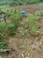 """Another """"mess"""" that has a purpose. This is a blackwater treatment system and is a series of mulched pools down the slope. We planted some banana stumps beside them to take in the good stuff!"""