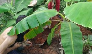 Digging Banana Circle