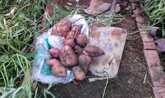 Some sweet potato tubers.