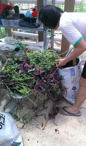 Different variety of sweet potato leaves harvested. We had to put them on a wheel barrow.