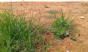 Grass on bare soil