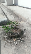 The extremely hardy legumes can survive even in the drain, albeit growing at a slower pace.