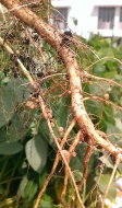 The nodules (little balls) contain nitrogen-fixing bacteria. If you squeeze them they burst open with an orange-red fluid.