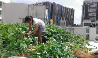 We ended up pulling up the green manure by hand because it was easier than cutting or chopping.