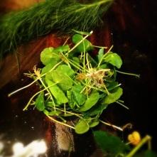 Asiatic Pennywort (Centella Asiatica); circular leaves, singular stemmed
