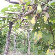 A wonderful climber called Chayote. Edible fruits and shoots.