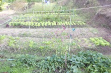 Neat rows of vegetables.