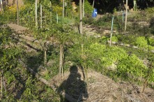 A productive veggie garden with tree trunks used to make garden beds and thickly mulched.