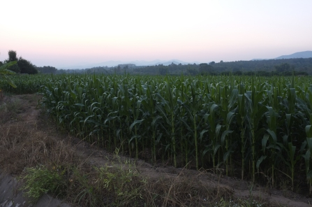 The corn field beside is farmed using chemicals and pesticides.