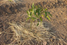 Mango sapling thickly mulched.