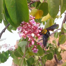 Solitary carpenter bee