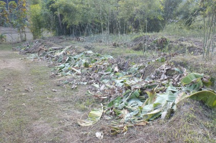 Chopped down banana trunks waiting to be used