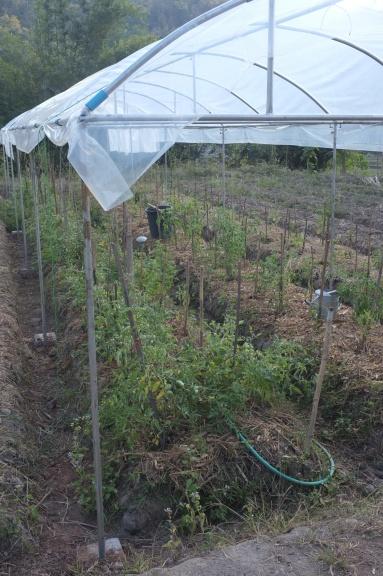 Tomatoes under rain shelter