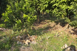 A citrus tree mulched thickly in the middle of dry season. Pineapples scattered on the ground. Pinto peanuts starting to outcompete grass, especially so at the more shaded areas.