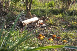 The excess fallen starfruits. Some livestock could be employed to forage and turn them into manure.