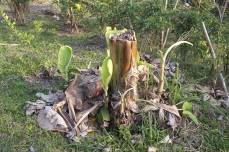 Banana trees are good pioneers and they accumulate biomass and moisture for mulching or composting. Over here, it is chopped down to provide shade for other growing trees.