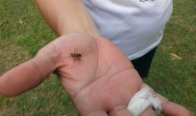 A friend got stung on the hand. Very weirdly, the bee flew off with the sting and didn't leave it behind.