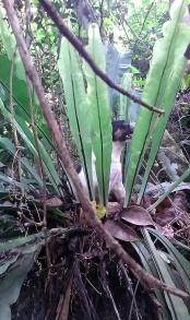 One of the dogs taking a break in a bird's nest fern.