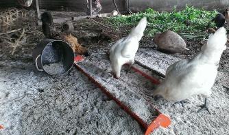 The chickens enjoying the shredded coconut flesh.