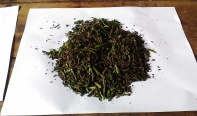 We rubbed the tea shoots with our hands and the enzymes turned it into this after a day.