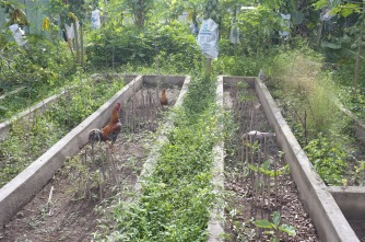 The chickens still roam in the vegetable beds and drop their manure.