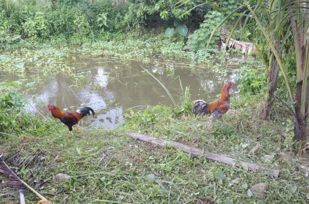 Kampung chickens going about their usual business.