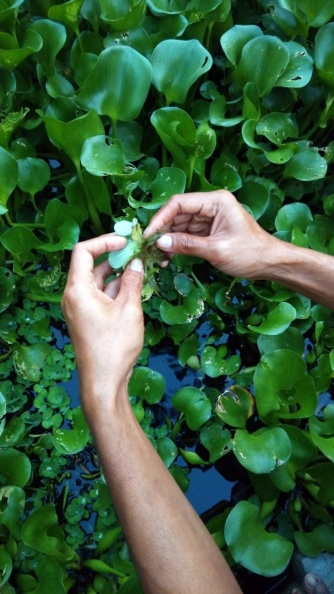 White roots of water hyacinth