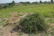 A bale of rice straw for mulching that we left here for too long. Plants are growing on it!