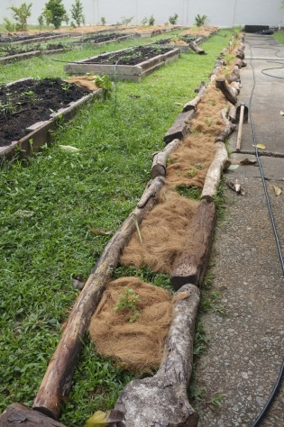 Stem propagation and transplanting. We mulched with coconut fibre.