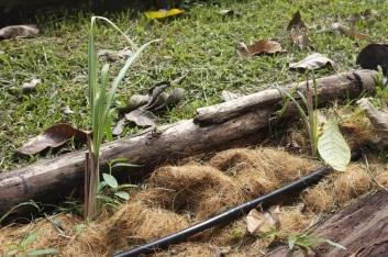 Lemongrass growing out.