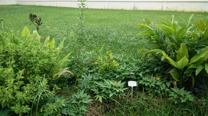 From L to R: holy basil, tumeric, medicinal shrub for showering, ginger, lemon, torch ginger.