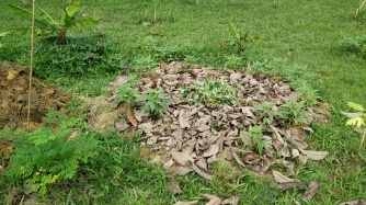 Our 2nd pit filled up. We planted some sweet potatoes by the edge.