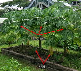 Papaya + katuk: Papayas have grown taller. The katuks did not like the sun and heat when we first transplanted them but are growing back better now.