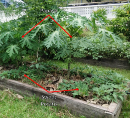 Papaya + sweet potato: Might reduce yield of sweet potato and make harvesting tubers more difficult.