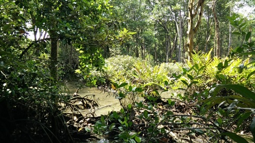 An area in the mangrove that was harvested, letting in lots of sunlight. Still beautiful though!
