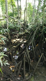 Stilt roots of the mangrove trees, probably bakau (Rhizophora)