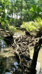 Beautiful roots that function as a bridge. The water looks clear and clean.