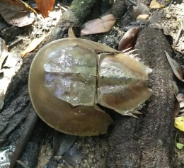 Shell of a mangrove horseshoe crab. Eaten by the locals. It is said that their blue blood is highly valued by pharmaceutical companies, selling at US$20,000 per litre!