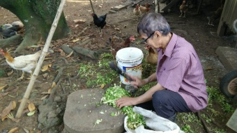 Chopping selom, a vegetable that the neighbour grows on a wetland