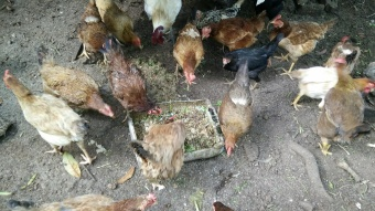 The chickens enjoying the meal