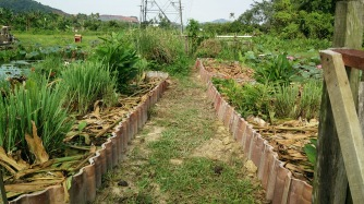 Bemban (edible roots), lemongrass, ginger mulched with torch ginger leaves.