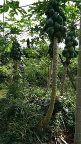 Papayas are growing well despite the high water table. They usually prefer well-draining soil.