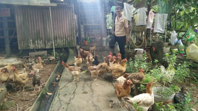 Granduncle looks at the chickens with happiness...