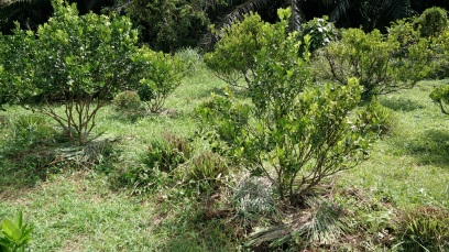 The lime shrubs weeded, fertilized, and mulched. The mulch is from the trimmed lemongrass growing in between them.