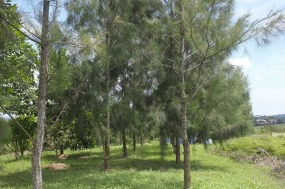 Two rows of casuarina trees.